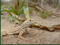 Mojave Fringe-toed Lizard © Tom Brennan/Arizona State University