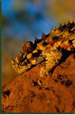 Moloch or Thorny Devil (Moloch horridus) © Bill Bachman/Photo Researchers