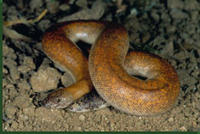 Smooth scale sand boa © David Northcott/DRK Photo