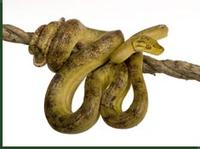 amazon_tree_boa_6084f_med