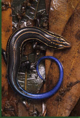 Five-lined skink (Eumeces fasciatus) © Jim Merli / Visuals Unlimited