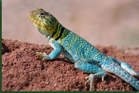 eastern_collared_lizard_med