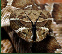 Prairie Rattlesnake © Jack Goldfarb, Texas Tech University