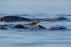 Fighting male narwhals (Monodon monoceros), Canada © F. Nicklen/Minden Pictures