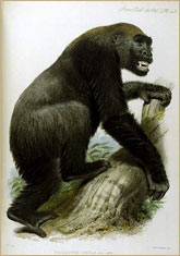 Adult male gorilla, 1866 © Mary Evans/Photo Researchers