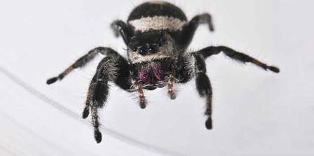 Regal jumping spiders rely on their eyes to hunt and find mates. AMNH/D. Finnin