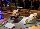 A Diplodocus skull, left, and horse skull, right. © AMNH/D. Finnin