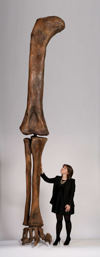 This enormous leg belonged to Supersaurus vivianae, one of the largest dinosaurs ever. At its narrowest, the thigh bone was the diameter of a large dinner plate. ©AMNH/D. Finnin