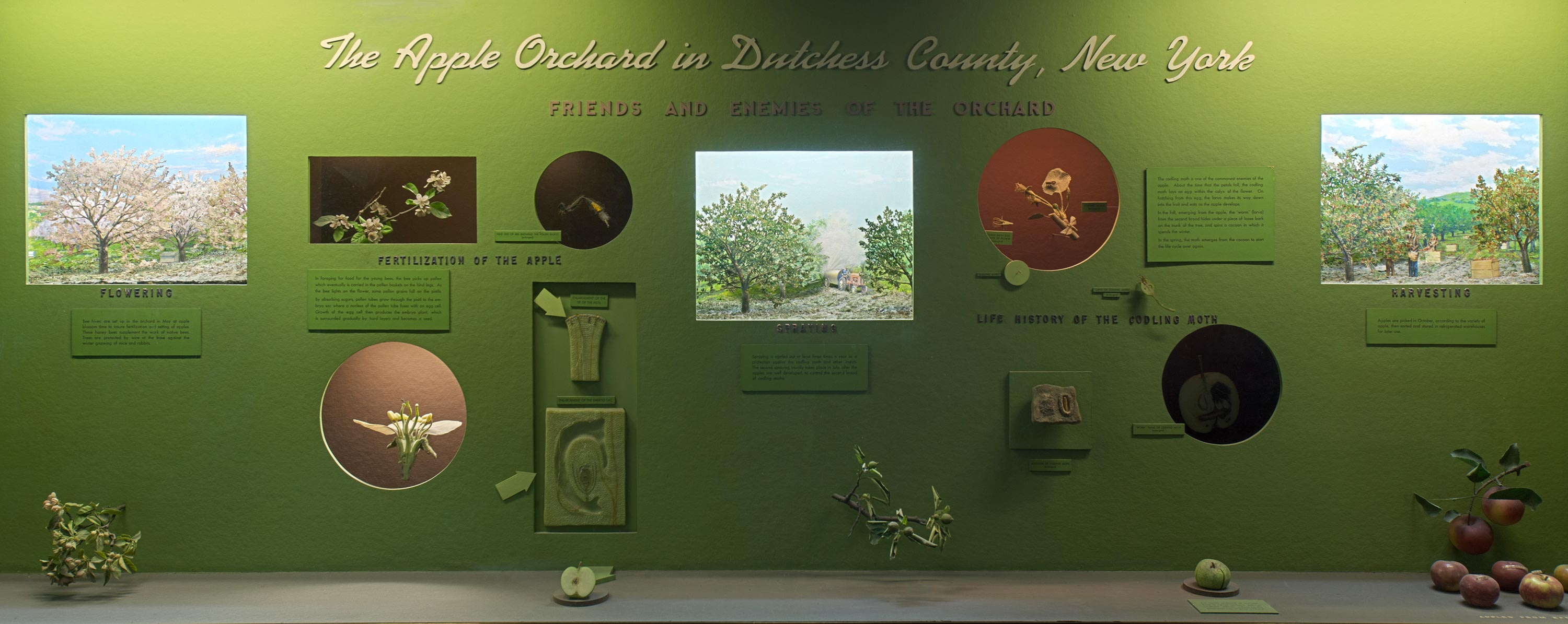 Museum case containing models and dioramas illustrating the varieties, reproduction, spra and pests of the apple orchard in Dutchess County, New York.