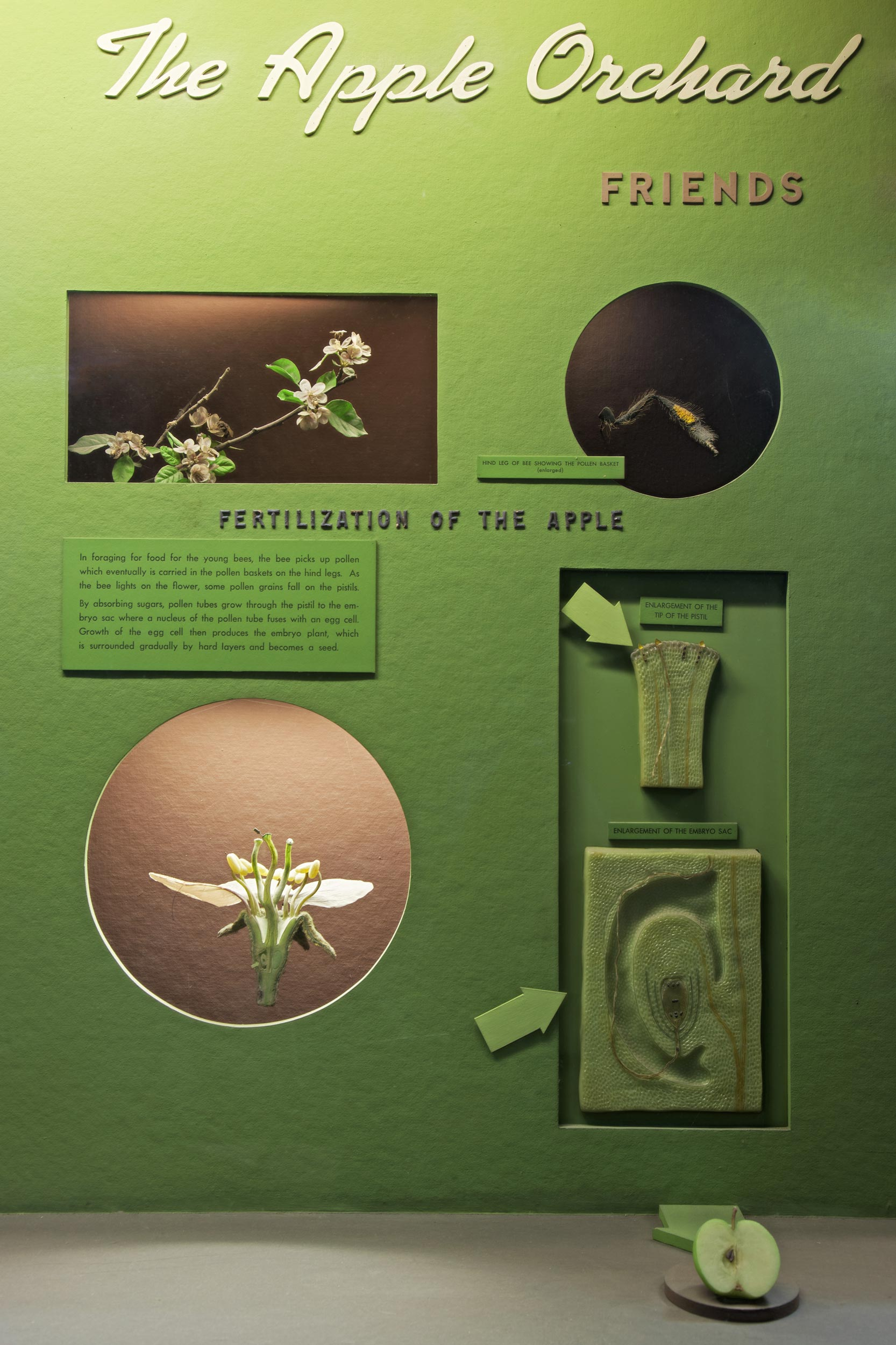 Museum case showing an array of models illustrating the fertilization of the apple