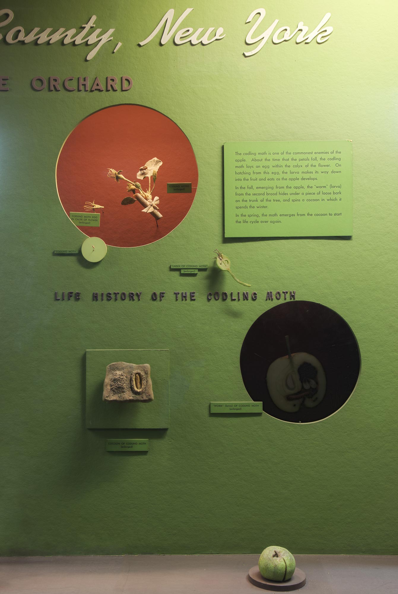 Section of a museum case showing text and models illustrating the life and effects of the codling moth.