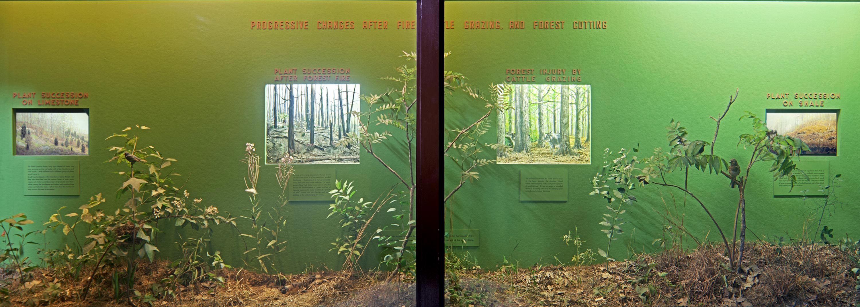 Museum case showing forest flora and dioramas illustrating different stages of the forest.