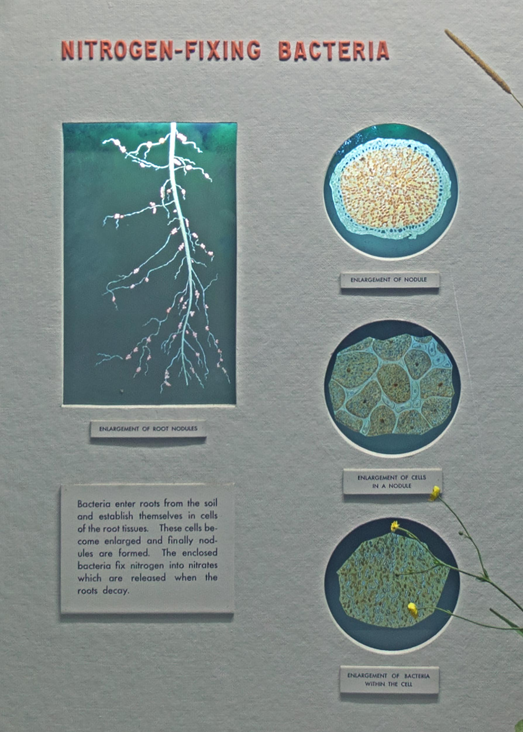 Text and back-lit diagrams showing enlargements of root parts.