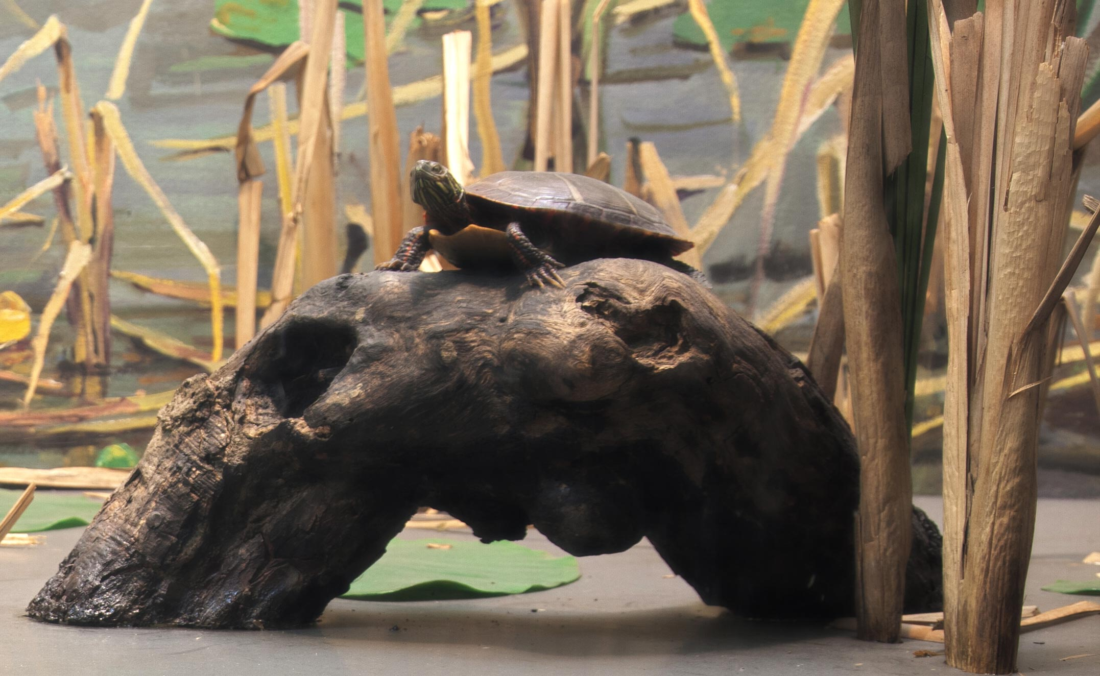 Section of a diorama showing a model of a painted turtle on a log