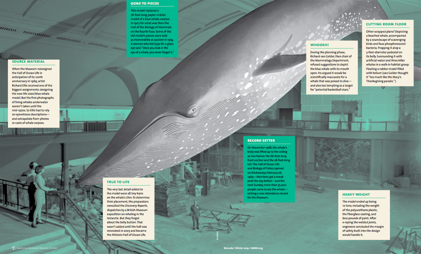 Blue Whale Model | American Museum of Natural History