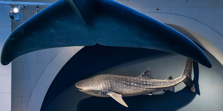 Whale Shark: The World's Largest Fish