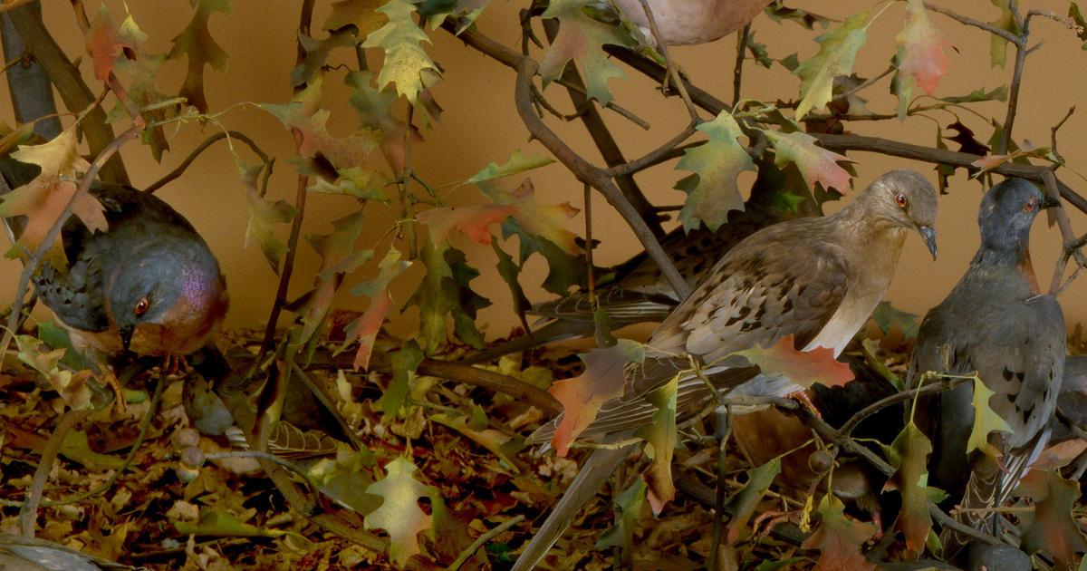 Birds Of New York City Permanent Exhibit Halls Amnh
