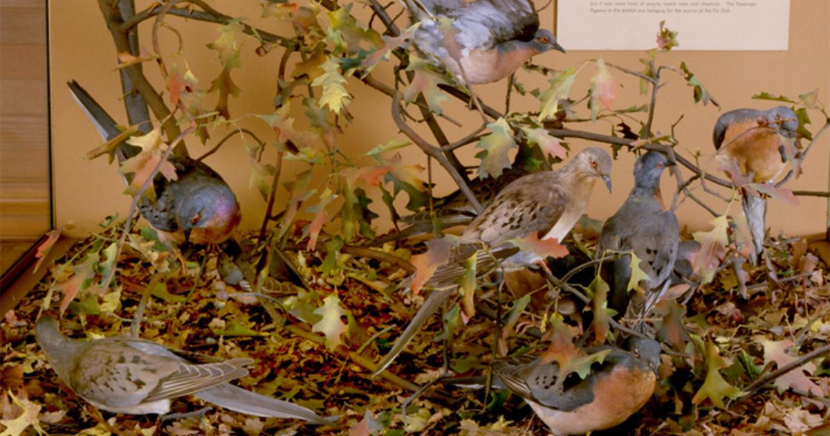 Passenger Pigeons | AMNH