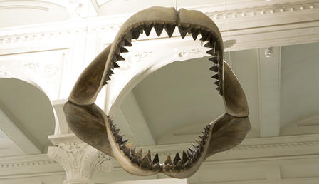 Megalodon fossil jaw is suspended from the ceiling in the Museum's Hall of Vertebrate Origins.