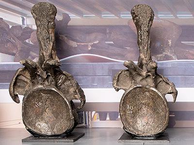 Sauropod Fossils