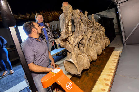 Three Museum staff members surround extremely large fossilized vertebrae and prepare to use a hydraulic life to move them onto a display shelf.