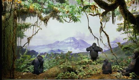 gorilla habitat map with Gorilla on Cotton Top Tamarin moreover Mountain Gorilla Population Grows moreover Land Of Leopard In Flames likewise Mapa Africa Con Paises Y Capitales IeKaobEAx also Scientific Name Gorilla Beringei  mon Name Mountain Gorilla.