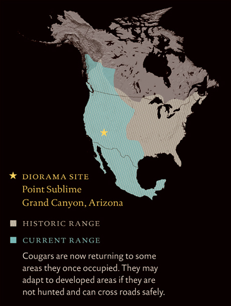 North America map marks diorama site in Grand Canyon, Arizona, cougar historic range and current range in Mexico, western U.S., and southwestern Canada