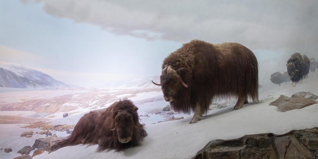 Musk Ox | AMNH