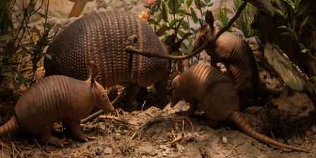 NAM Nine Banded Armadillo Hero