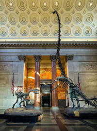 Barosaurus and Allosaurus in Theodore Roosevelt Rotunda