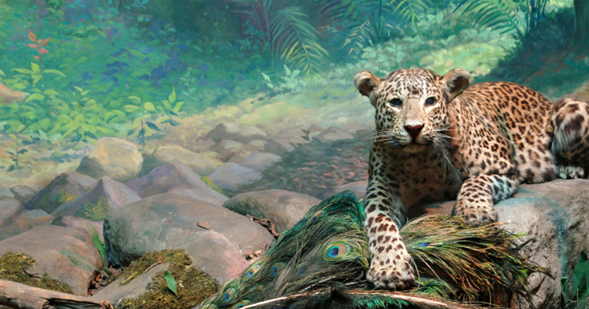 Hall of Asian Mammals | American Museum of Natural History
