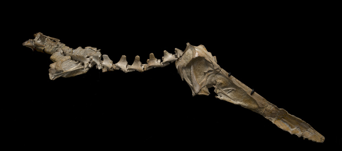Most bones are flattened during fossilization, but the skeleton of this pterosaur was protected inside a hard shell, called a nodule, that formed as mud around the animal's remains gradually turned to stone. © AMNH/C. Chesek