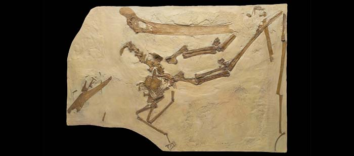 This fossil, of the large pterosaur Dawndraco kanzai, was a close relative of Pteranodon longiceps. Parts of the skeleton moved out of place during fossilization.  © AMNH/C. Chesek
