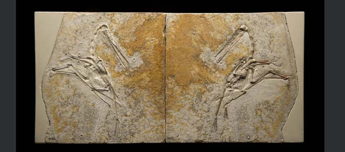 This fossil of a young Pterodactylus antiquus was found in the layers of limestone near Solnhofen, Germany, an area known for its rich fossil beds. Pterosaur bones are fragile, so they rarely form fossils this clear and complete.  © AMNH/C. Chesek