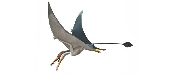 Rhamphorhynchus's long tail had a stiff flap of skin called a vane at the end that stabilized flight. Some scientists think this membrane faced sideways, like a fish tail, and helped prevent rocking from side to side. Others think it lay flat, like a paddle, and helped the flying pterosaur control its elevation. © AMNH 2014