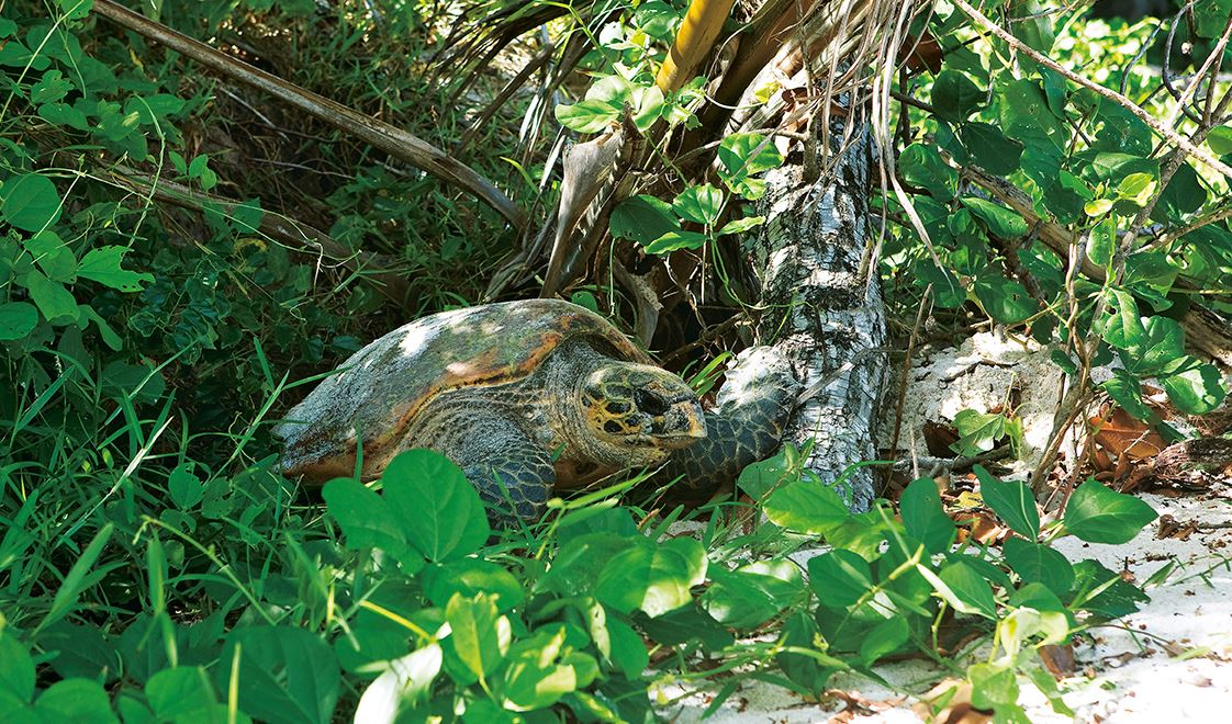 Seychelles Tortoise in a tropical envirnonment