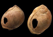 These snail-shell beads, found at Blombos Cave in South Africa, date to 72,000 years old. Courtesy C. Henshilwood and F. D'Errico