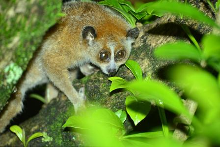 Pygmy slow loris sits on a tree branch and peers through the leaves.