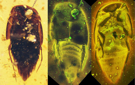 Mesoymbion rove beetle fossil suspended in amber (left); laser scanning shows x-ray views of the beetle (right).