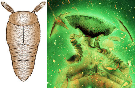 Drawing of a beetle with two thick antenna and armored-looking head and body (left); x-ray view of Mesoymbian's head (right).