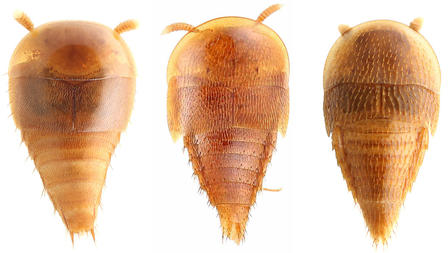 Three modern rove beetles display their horseshoe-crab-shaped heads and scaled bodies.