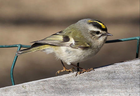 Kinglet perches on a concrete ledge edged with wire fencing.