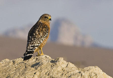 Red-shouldered Hawk sits on a rocky outcropping and peers into the distance.
