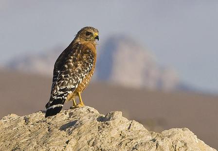 Juntos para salvar especies de aves: ¿Se puede hacer?   American Bird Conservancy