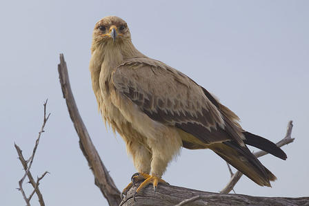 Tawny eagle peers majestically from its treetop perch on a branch.