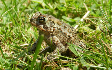 American toad surrounded by blades of grass.