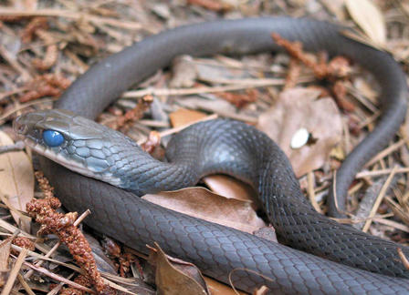 Eastern racer snake curled up on dried leaves.