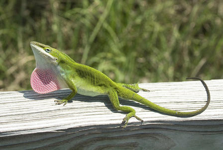 Carolina anole basks in the sun atop a wooden structure set in a grassy area.