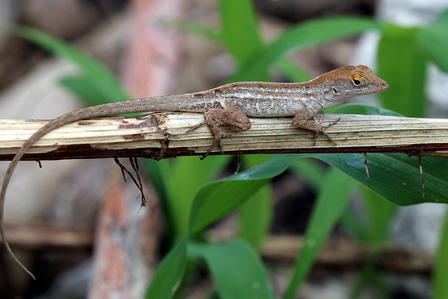 Small Cuban brown anole perches on the branch of a plant.