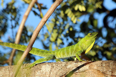 Jamaican giant anole perches in the sun on the bough of a leafy tree.